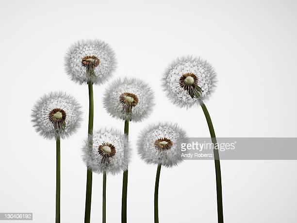 Close up of dandelion stalks