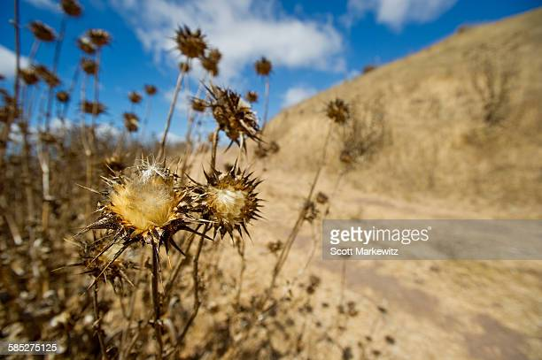 Close up of dead flowers, California