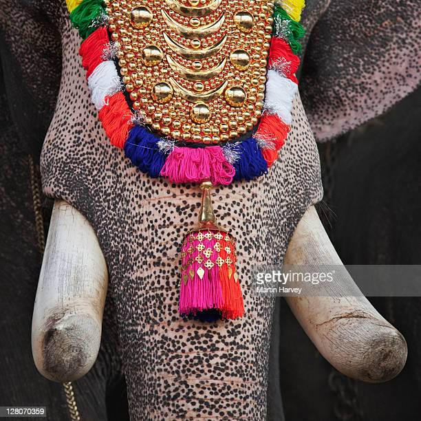 close up of decorated elephant (elephas maximus) at the tripunithura temple. the temple elephants are decorated with gold plated caparisons (nettipattom), bells, and necklaces. kochi, kerala, india - kerala elephants stock pictures, royalty-free photos & images
