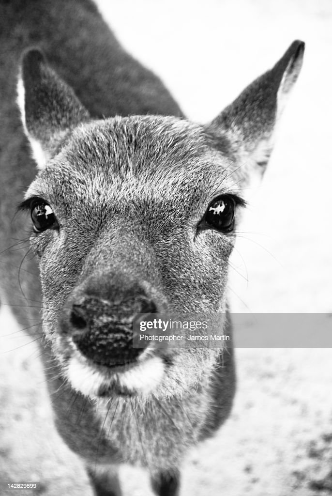 Close up of Deer : Stock Photo