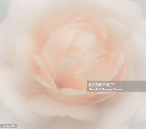 close up of  defocussed dreamlike soft peach-coloured rose - ピーチカラー ストックフォトと画像
