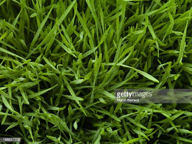 close up of dew droplets on grass - wheatgrass stock photos and pictures