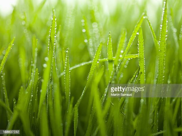 Close up of dew droplets on grass