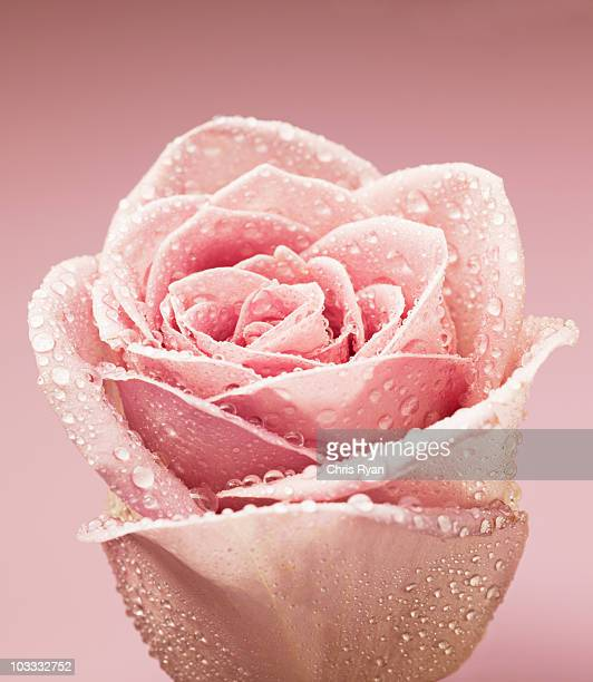 close up of dew droplets on pink rose - pink flowers stock pictures, royalty-free photos & images