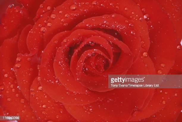 A close up of dew on a red rose 1979