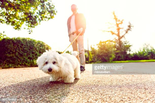 close up of dog on leash looking at the camera - dog walker stock photos and pictures