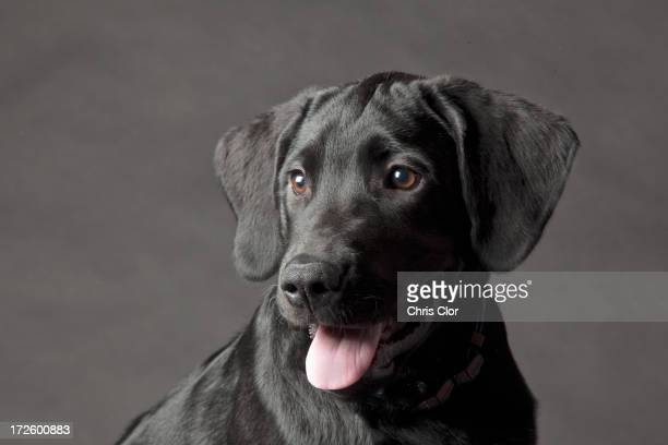 close up of dog's panting face - black labrador stock pictures, royalty-free photos & images