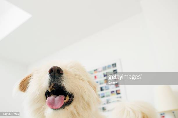 Close up of dogs panting mouth