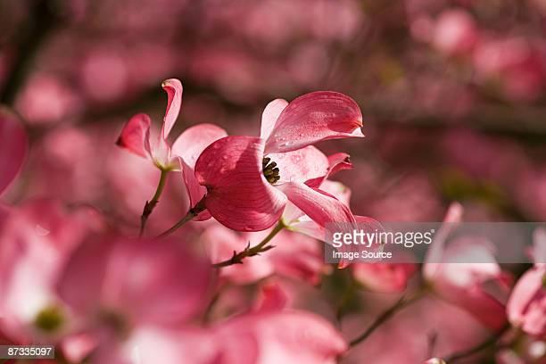 Close up of dogwood blossom