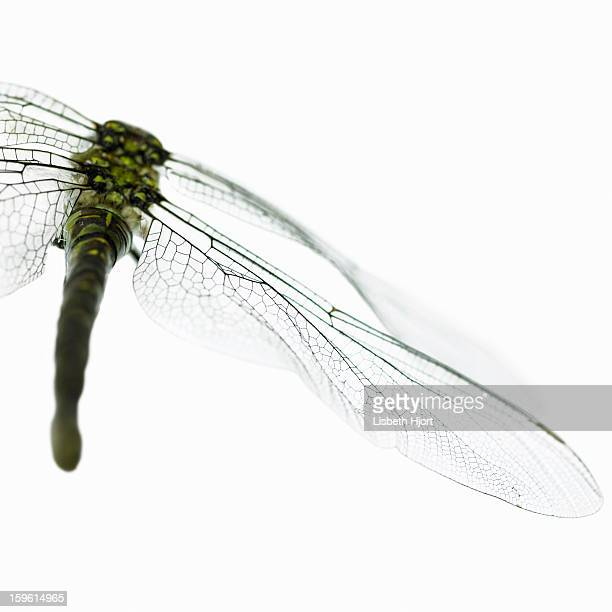 Close up of dragonfly wings
