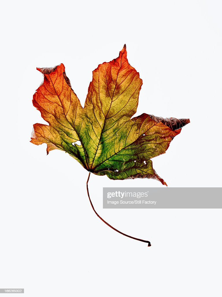 Close up of dried autumn leaf : Stock Photo