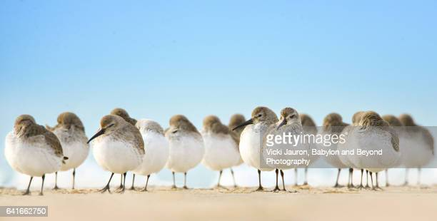 Close Up of Dunlins on Beach at Their Level