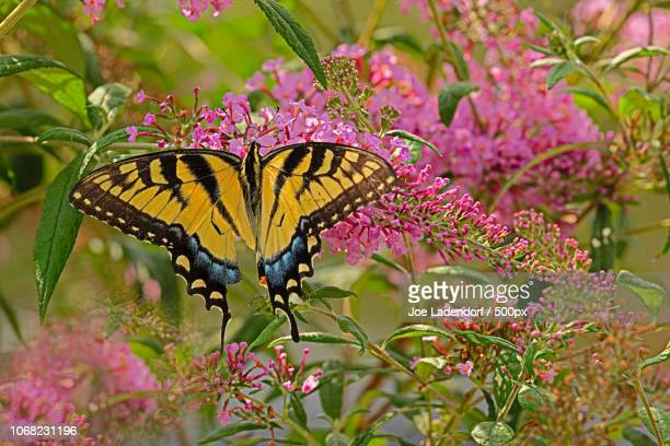 close up of eastern tiger swallowtail butterfly (papilio glaucas) - swallowtail butterfly stock pictures, royalty-free photos & images