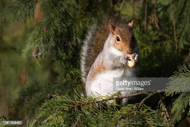 close up of eating squirrel, monza, italy - monza stock pictures, royalty-free photos & images