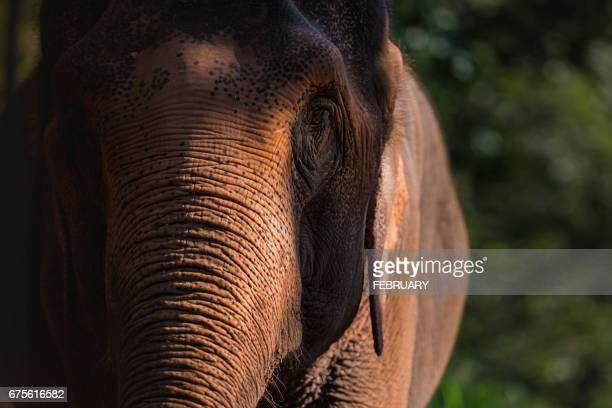 close up of elephant at chaing man,thailand - mammal stock pictures, royalty-free photos & images