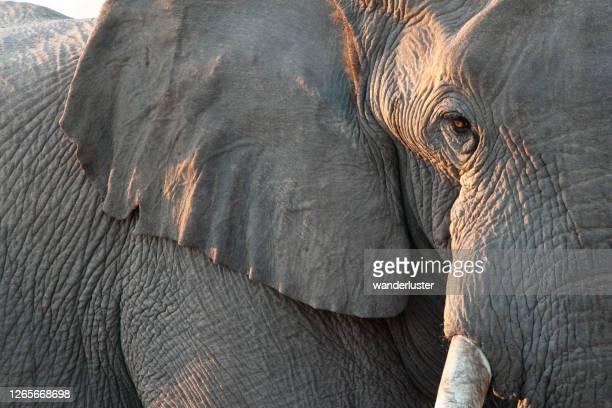 ゾウのクローズアップ - ゾウ ストックフォトと画像