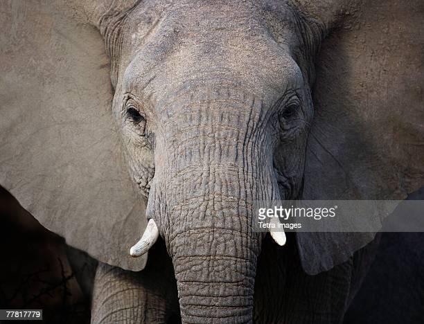 close up of elephant - elephant head stock-fotos und bilder