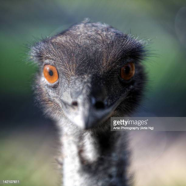 Close up of emu