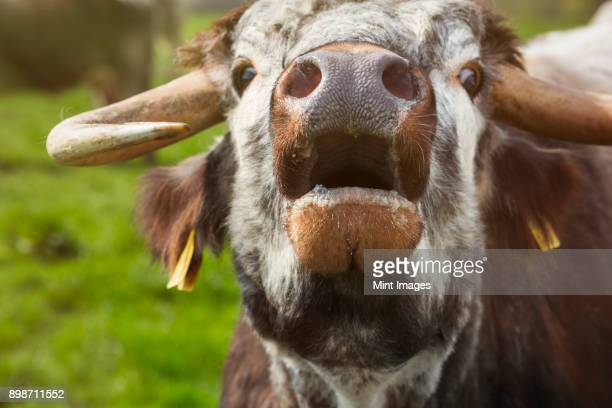 close up of english longhorn cattle mooing. - cow mooing stock pictures, royalty-free photos & images