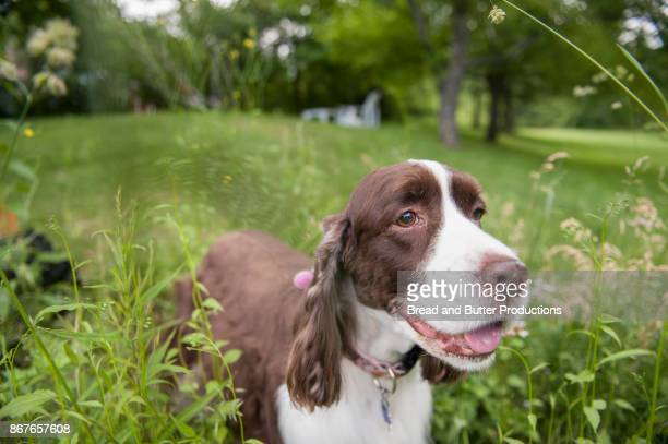 Close Up of English Springer Spaniel Dog Outdoors in the Yard