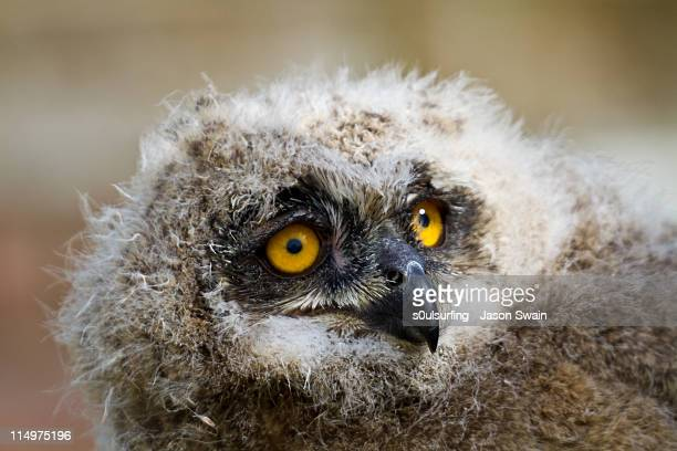close up of european eagle owl chick - s0ulsurfing stockfoto's en -beelden