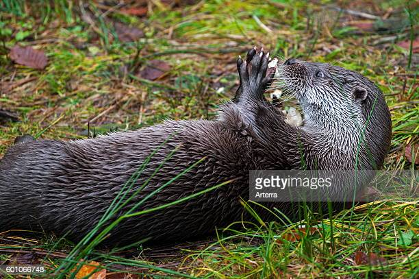 Close up of European River Otter on the shore lying on its back while eating fish with its paws