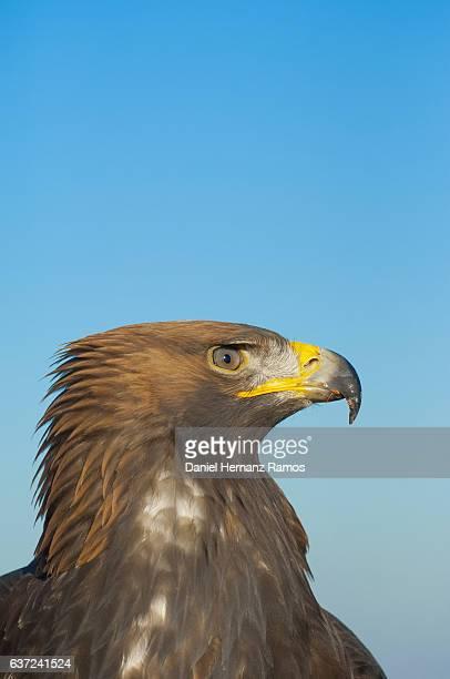 close up of face of a golden eagle against blue sky. aquila chrysaetos - aigle royal photos et images de collection