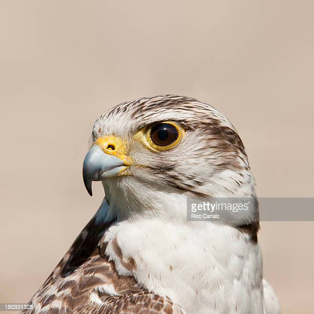 Close up of Falcon bird