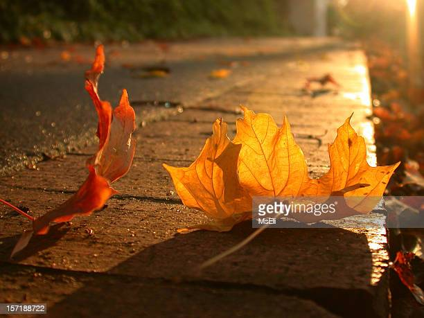 Close up of fall leaves on sidewalk at sunset