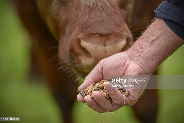 close up of farmer feeding cattle by hand - livestock stock pictures, royalty-free photos & images