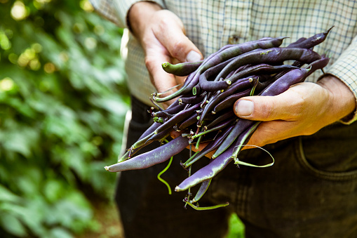 Close up of farmer holding a bunch of purple beans. - gettyimageskorea