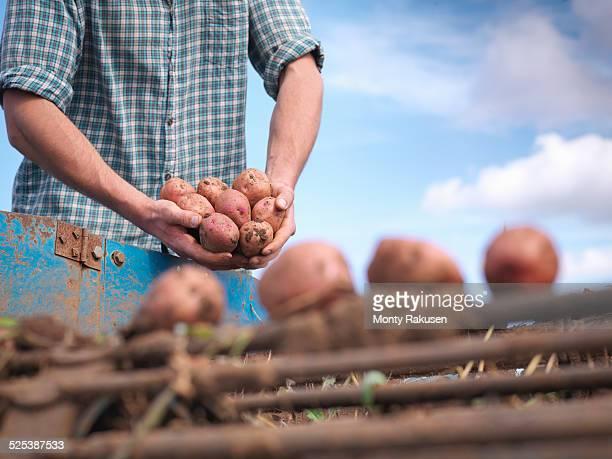 Close up of farmer holding crop of organic potatoes