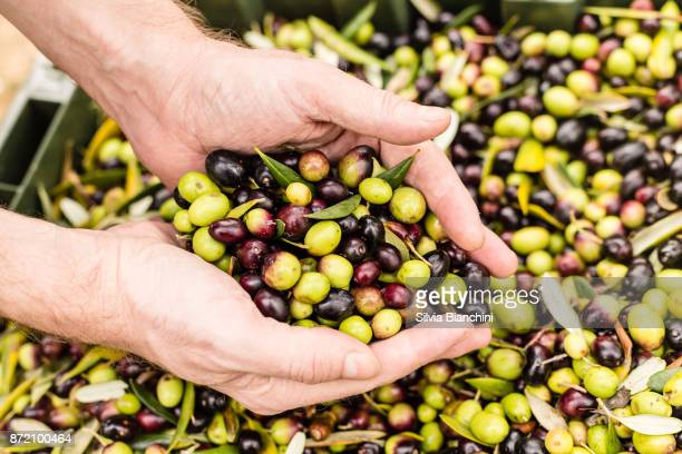 Close up of farmer holding harvested olives