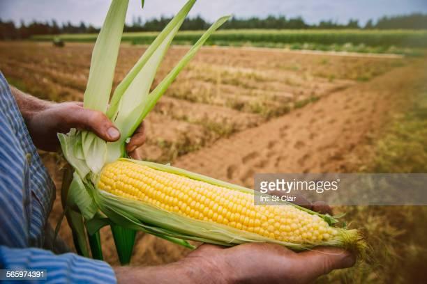 Close up of farmer peeling corn in farm field