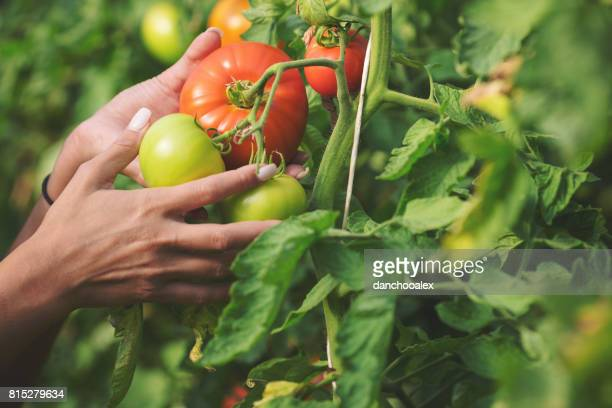 Close up of female hands holding tomato