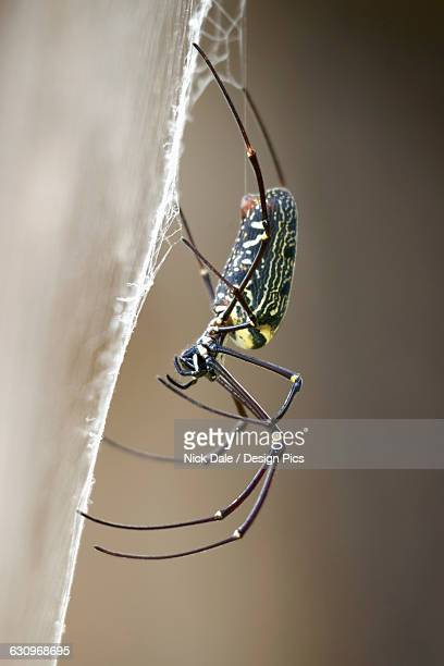 close up of female wood spider - huntsman spider stock pictures, royalty-free photos & images