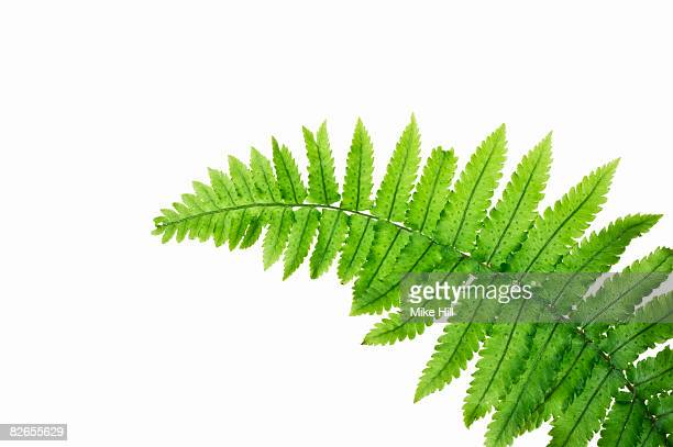 Close up of Fern Leaf against white background