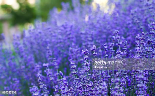 Close up of field of lavender