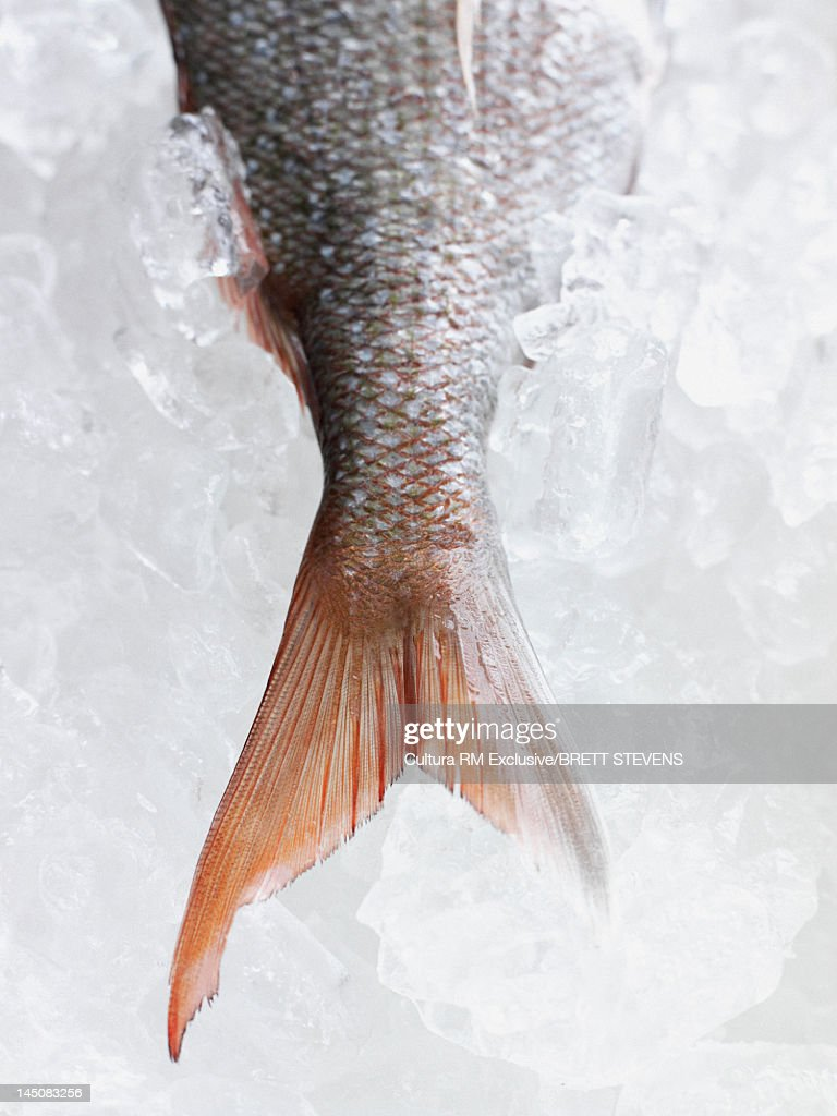 Close up of fish tail on ice : Stock Photo