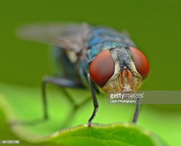 close up of flies - housefly stock pictures, royalty-free photos & images