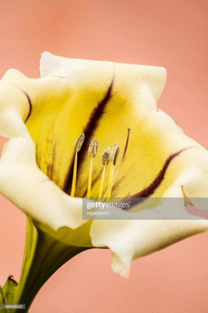 Nahaufnahme der Blüte. Gelb mit detail von pollen. : Stock-Foto