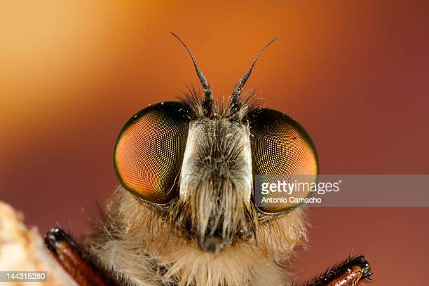 close up of fly - bot fly stock photos and pictures