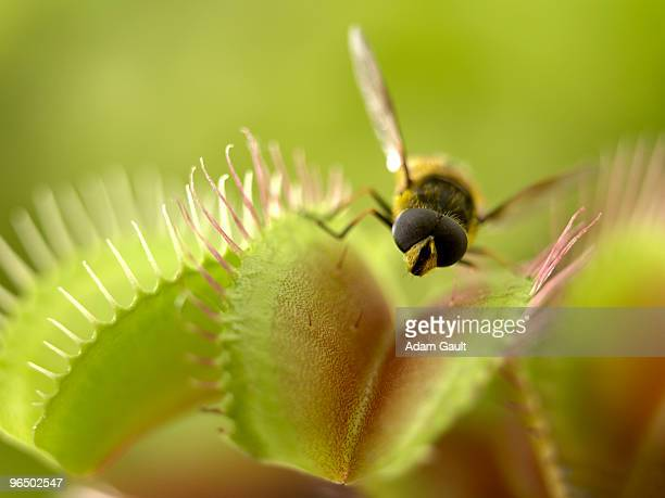 close up of fly standing on venus flytrap - carnivorous stock pictures, royalty-free photos & images
