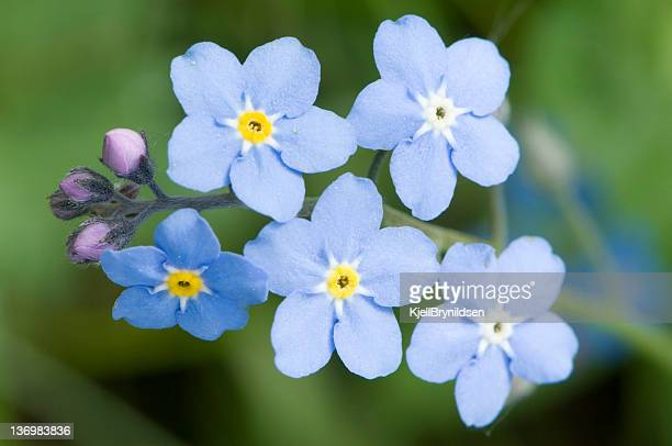 A close up of forget-me-not flowers