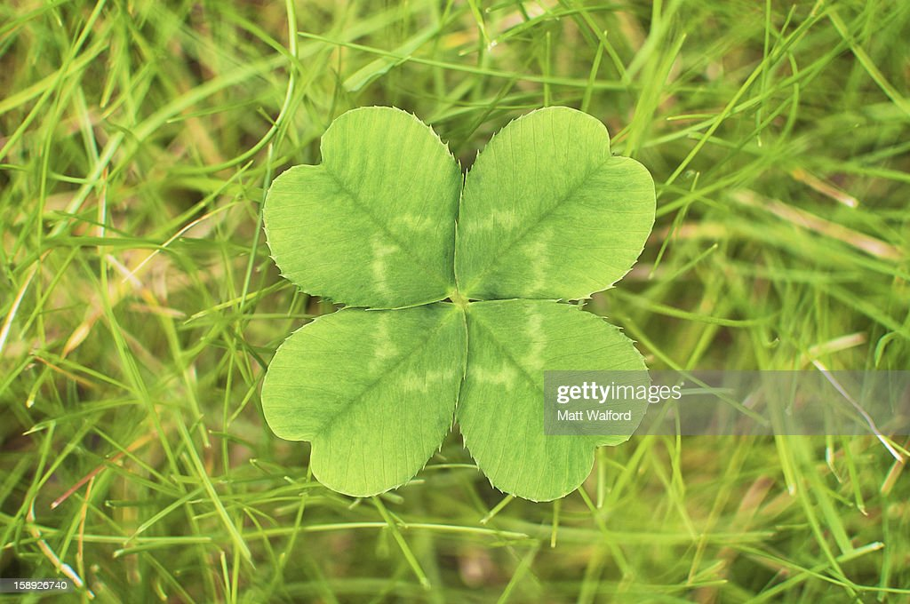 Close up of four leaf clover : Stock Photo