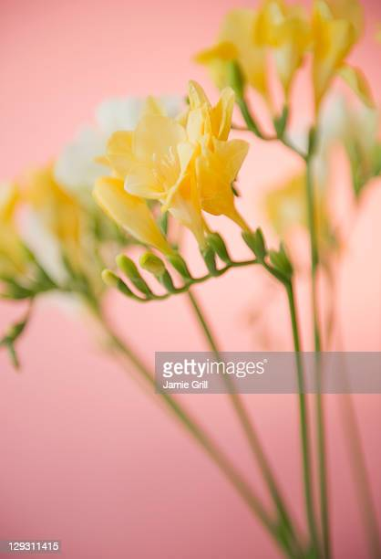 Close up of freesia flowers