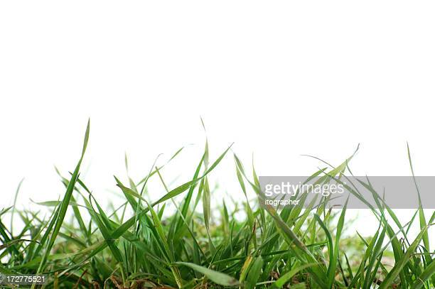 Close up of fresh grass on a white background