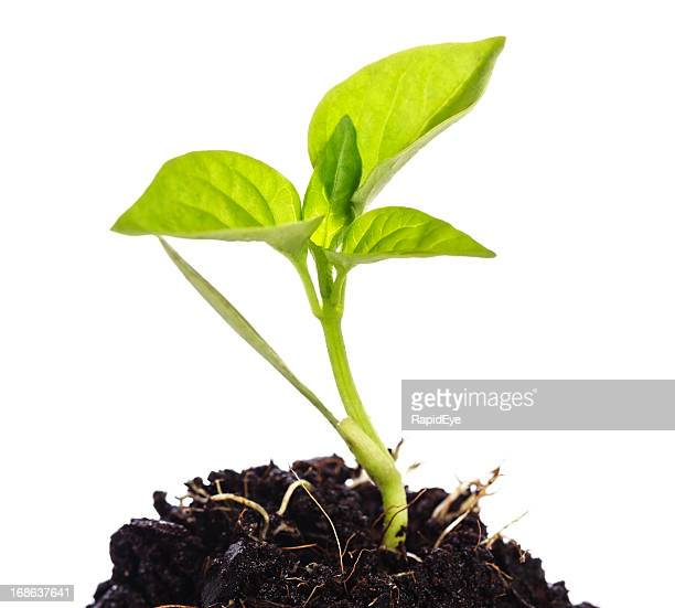 Close up of fresh green vegetable seedling flourishing in dirt