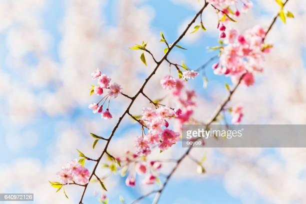 Moring に新鮮なピンクの桜の花のクローズ アップ