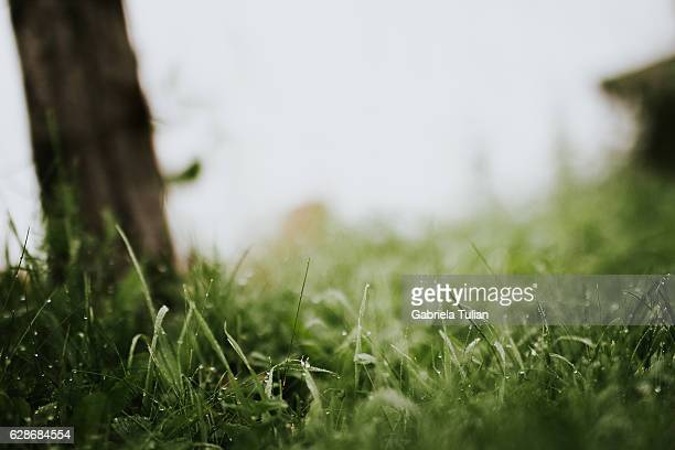 close up of fresh thick grass with water drops in the early morning - mojado stock pictures, royalty-free photos & images